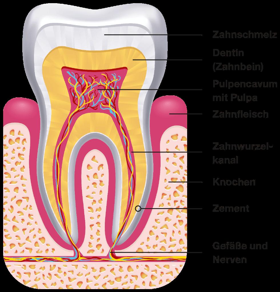 Aufbau eines Zahns